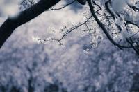 枝先に日差しを受ける桜(淡いブルー表現)