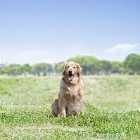 草原に座るゴールデンレトリバー 犬