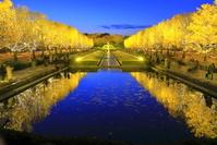 東京都 国営昭和記念公園のイチョウのライトアップ