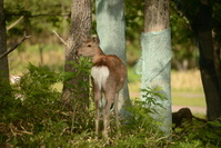 北海道 知床 エゾシカと鹿害防除ネット