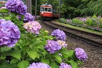 神奈川県 箱根登山鉄道とアジサイ