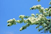 山梨県 ズミ(コナシ)の花とアサギマダラ