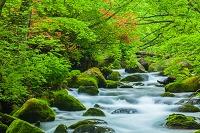青森県 ヤマツツジ咲く奥入瀬渓流
