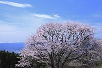 山形県 西蔵王放牧場 大山桜と月山