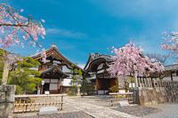 京都府 妙顕寺 枝垂桜