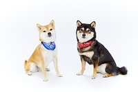 スカーフを巻いた柴犬