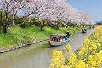滋賀県 桜と菜の花と水郷船めぐり