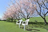 茨城県 桜と白いチェアー