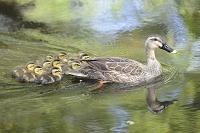 カルガモの親子 水の上で一塊になって泳ぐ