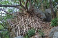 熊本県 アコウ巨樹と気根 西平椿公園
