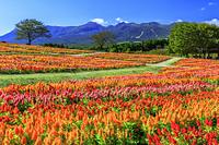 栃木県 那須連山とケイトウ 那須フラワーワールド