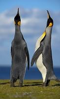 求愛する皇帝ペンギン