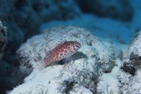 太平洋 キリバス クリスマス島 ヒメゴンベ