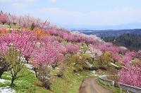 福島県 桃畑と道