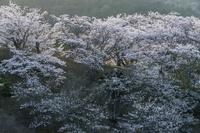 桜満開の丘に西日が差す