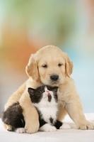 ゴールデンレトリバーの子犬とブリティッシュショートヘアの子猫