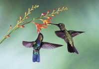 ヒノドハチドリとアオノドハチドリ