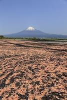 桜えびの天日干しと富士山