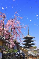 京都府 枝垂れ桜咲く八坂道の家並みと八坂の塔