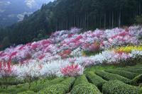 高知県 久喜の花桃