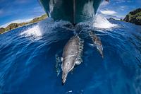東京都 小笠原 ボートの舳先を泳ぐハシナガイルカ