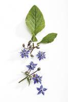ルリジサ の花