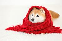 マフラーに包まる豆柴犬