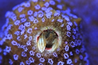 沖縄県 久米島 紫のサンゴに住むカンザシヤドカリ