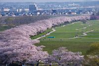 山形県 岩手県 北上展勝地の桜
