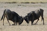 ケニア マサイマラ国立保護区 オグロヌーのケンカ
