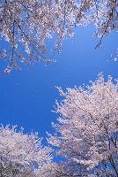 さくらのイメージ 桜吹雪