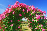 長野県 中野市 一本木公園のバラ園のアーチ