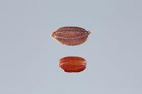 お米 米粒 種籾 籾付き 玄米 赤米 モチ米
