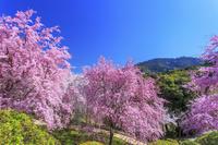 奈良県 桜咲く大美和の杜展望台より美輪山(大神神社御神体)