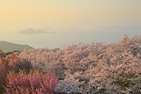 香川県 紫雲出山の桜と瀬戸内海の夕景