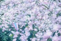 春 満開の桜と提灯