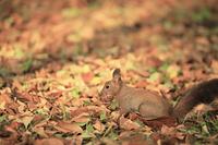 北海道 落ち葉と採餌するエゾリス
