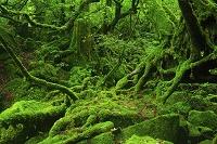 鹿児島県 屋久島 太鼓岩往復コース遊歩道の苔むす新緑の原生林
