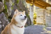 旅館の前に佇む豆柴 犬