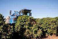 ブラジル コーヒーの収穫