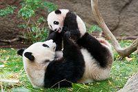 ジャイアントパンダ 中国