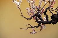 盆梅と金屏風