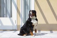 バーニーズマウンテンドッグ 犬