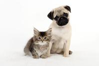 パグの子犬と子猫 犬