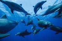 小笠原 ミナミハンドウイルカの群れ