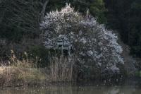 筑波山の麓の池畔で満開を迎えた梅と石鳥居