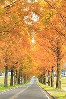 滋賀県 メタセコイア並木の紅葉