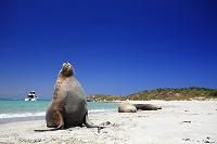 オーストラリア オーストラリアアシカ
