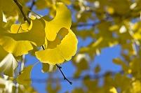 青空と黄葉の銀杏