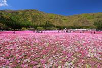 山梨県 富士芝桜まつり 花畑と新緑の山